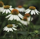 (P4) Echinacea PowWow White  Position: full sun Soil: most soils, except very dry or boggy Rate of growth: average Flowering period: June to September Hardiness: fully hardy H: 60cm S: 30cm Compact and full of summer flowers, this coneflower is a great for both perennial borders and prairie-style planting schemes. Like all coneflowers, the flowers will act as a magnet for bees and butterflies and later on birds will find the seedheads tempting.