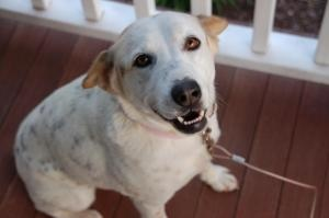 Lizzie:  Australian Shepherd/Dalmatian Mix - Lizzie was in a shelter in North Carolina and this nice lady could not stand to see the dog die, so she went to the shelter, got the dog out and brought it home with her and then turned her over to us. Having her with us, we understand her devotion to rescuing this dog. Lizzie is a 4 year old, 40 pound mutt with dubious parentage but an outstanding temperament. Lizzie loves every single person she has ever met and she is wonderful with other dogs