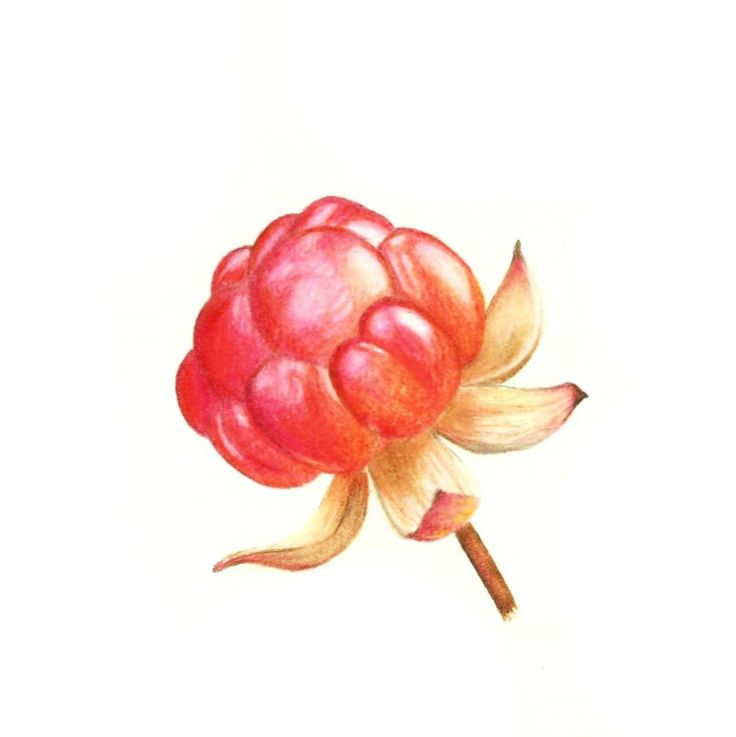 Jasmin Ekström Cloudberry illustration