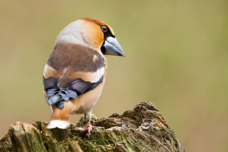 Hawfinch on a dead tree - This hawfinch was looking for some food on a dead tree somewhere in The Netherlands.