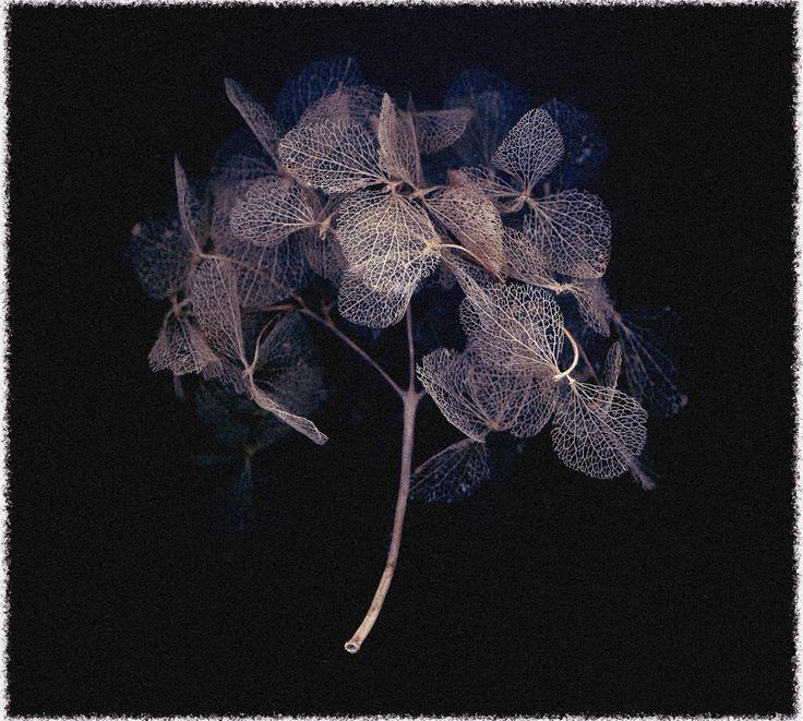 'Hydrangea' Pigmented Ink on Cotton Rag