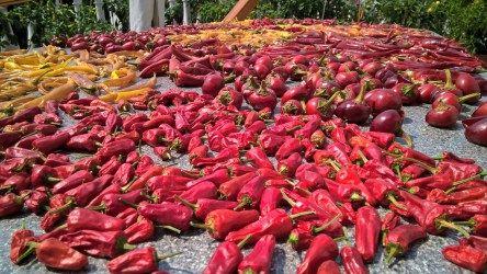 Trocknung von 877 Chili Beeren