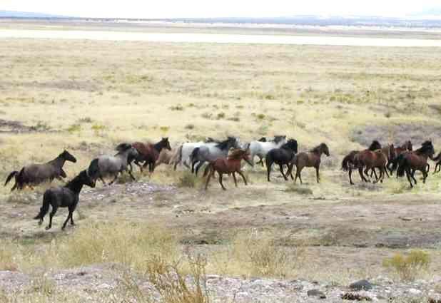 Wild Mustang Horses Herds