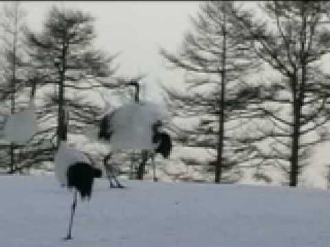 Japan Red Crowned Cranes Dance - Very endangered the help of Japanese farmers are helping to save them