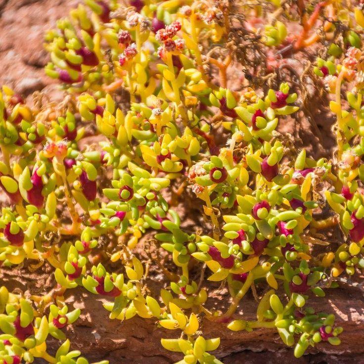 La zone désertique de la Sierra de las Quijadas nous réserve de belles surprises. Ici une belle petite plante grasse verte et rose sort entre le sable et les pierres. Retrouvez l'article sur la Sierra de las Quijadas sur http://ift.tt/2eA3jtf  #argentina #argentine #sanluis #nationalpark #parcnational #naturelovers #nature #voyage #travel #traveltheworld #f4f #traveller #travelling #awesomeday #awesome #redrocks #bestoftheday #picoftheday #landscape #landscapephotography #photooftheday…