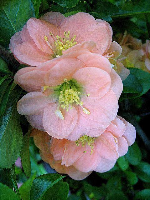 Flowering Quince 'Cameo' by Joel Ignacio