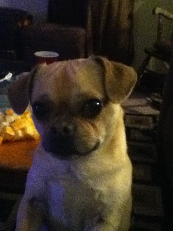are chihuahua hypoallergenic 1000 ideas about pug breed on pinterest pugs small 2993