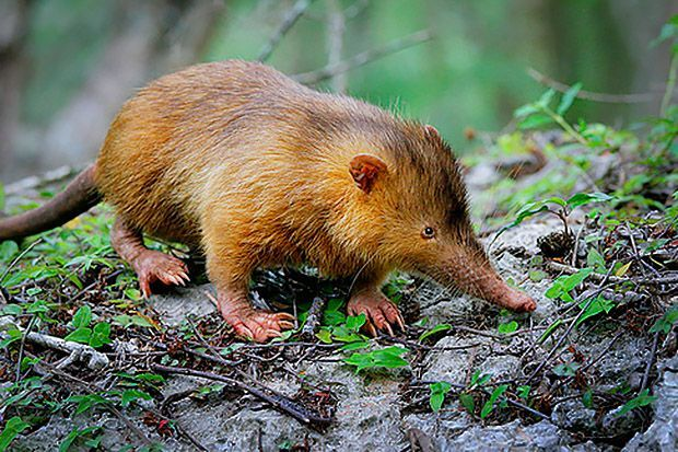 The Cuban solenodon (Solenodon cunbanus) is anendangered mammal is native to southeastern Cuba. A living fossil, the venomous shrew-like animal produces poisonous saliva that it injects into prey through its teeth. Largely wiped out by hunters and predators in the 19th century, the solenodon was …