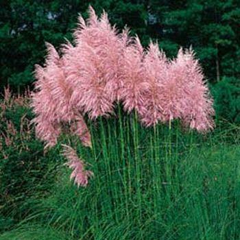 Pink Pampas Grass! Like fluffy pink clouds!