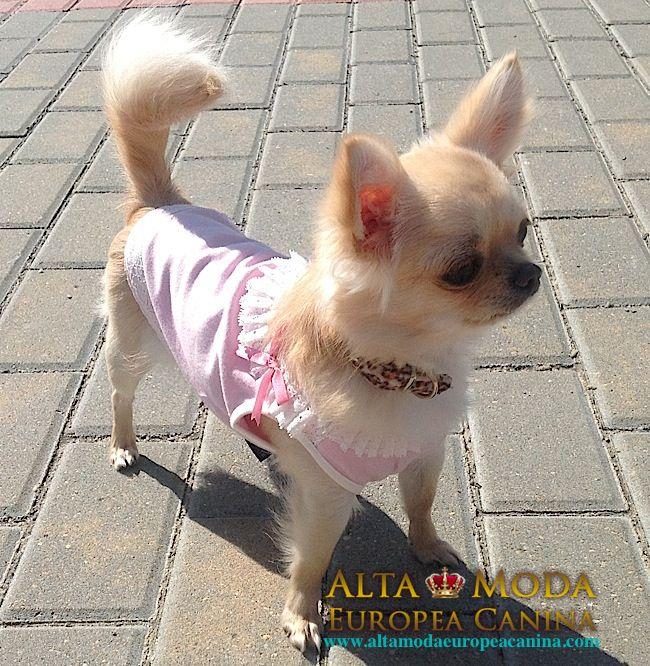 Blog de Moda Canina. 2.600 Post Escritos. http://www.modacaninayorkshirechihuahuas.com/2015/07/blog-de-moda-canina-2-600-post-escritos/