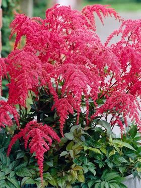 Astilbe Red Charm (Spirea)  Tall, gracefully-arching lush rose-pink plumes with red undertones set these apart from traditional upright plumes. Blooms later in June allowing for extended enjoyment. Attractive all season.   Astilbe are mainstays of shade and woodland gardens combining well with other moisture loving plants like Brunnera, Ligularia, Lobelia and Hosta. Rabbit and deer resistant, yet attracts hummingbirds and butterflies  Learn more at…