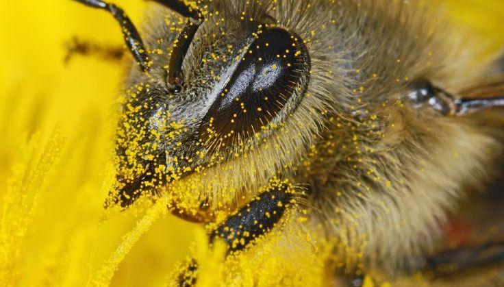 Właściwości zdrowotne pszczelego pyłku