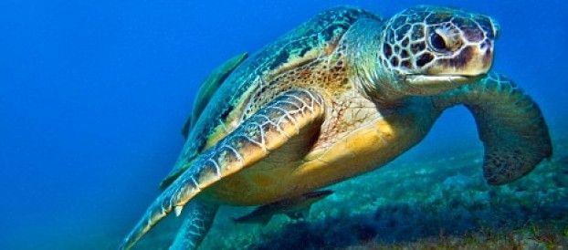 """Questa mattina, un giovane tartaruga caretta caretta è stata una salvata e recuperata a Castellaneta Marina. A renderlo noto un comunicato dell'ufficio del Sindaco della cittadina ionica che spiega: """"L'animale marino, molto giovane, presumibilmente attorno ai 3/5 anni di età, aveva..."""