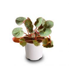 Begonia 2 Rp 25,000