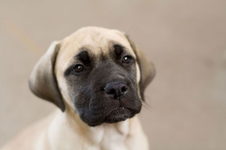 Bullmastiff - Dogs for Lazy Owners