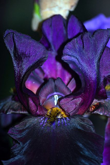 Morning Flowers: Purple Black