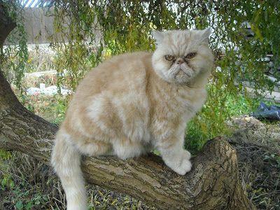 BLOGERWEBSITE: NINIVEWEBSITE: Perská kočka a my lidé. Fotografie ...