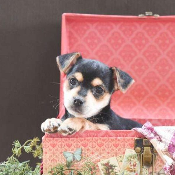 Chihuahua Puppies For Sale Craigslist Md Pets Lovers