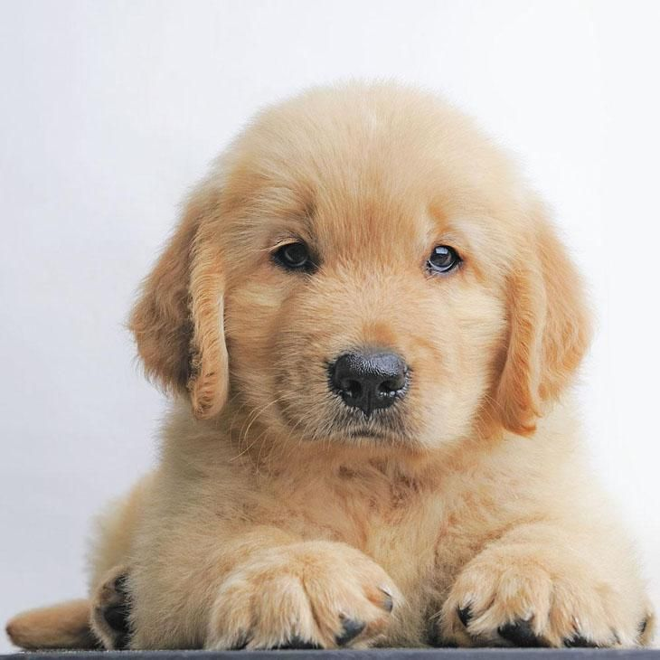 Beautiful Chocolate Brown Adorable Dog - 296711220538f82083080c6658b612ab--yellow-labrador-puppies-golden-retriever-puppies  Pictures_926110  .jpg
