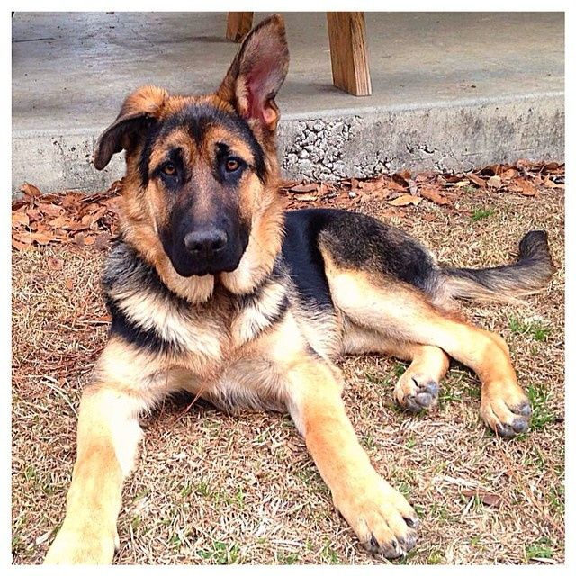 how to take care of a german shepherd puppy