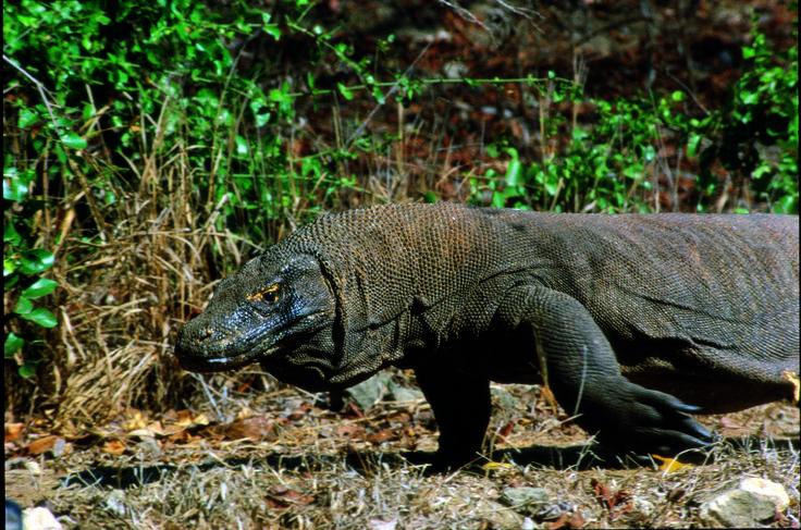 Komodo Dragon in its natural habitat.