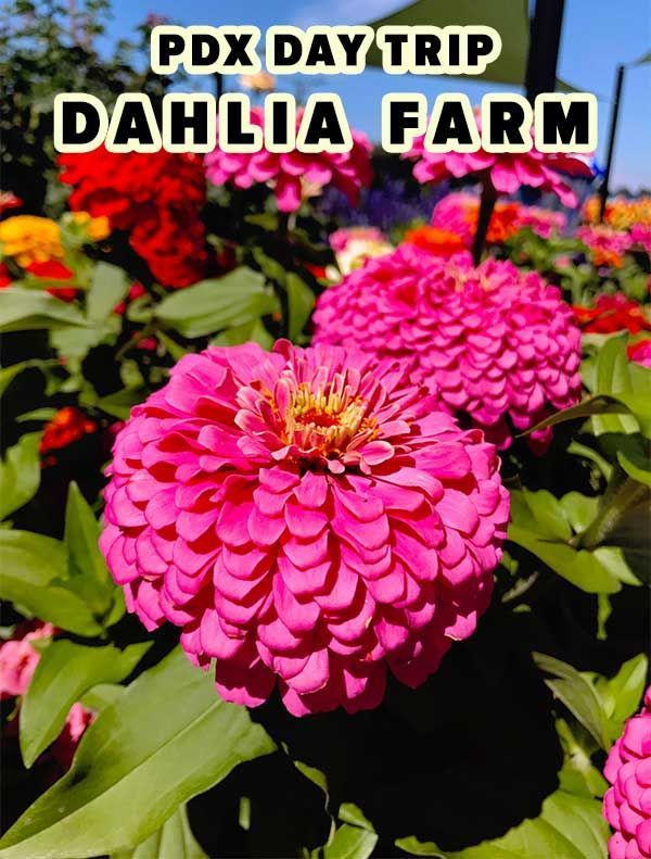 Gorgeous Flower Festival At Swan Island Dahlias In Canby Oregon
