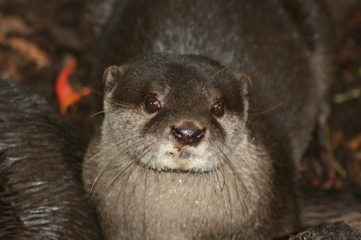A cute Otter at Mogo Zoo, near Bateman's Bay, NSW, Australia, 25 May 2009. Photo - M.R.Miller.