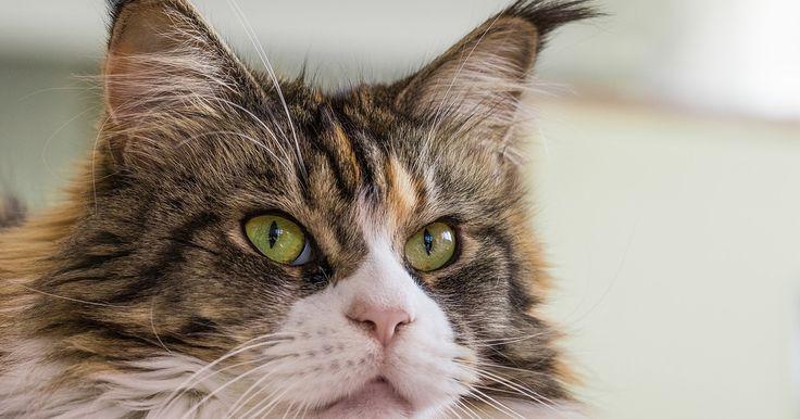 Na svete je viac ako 250 mačacích rás. Chlpaté a bezsrsté, plaché či priateľské. Existuje však jedna vec, ktorá ich spája a tou je to, že sú neuveriteľné krásne.Maine Coon