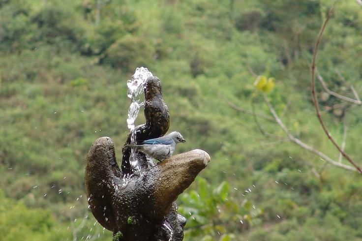 Azulejo común refrescándose en una de las fuentes de El Portal, Paraíso Natural.