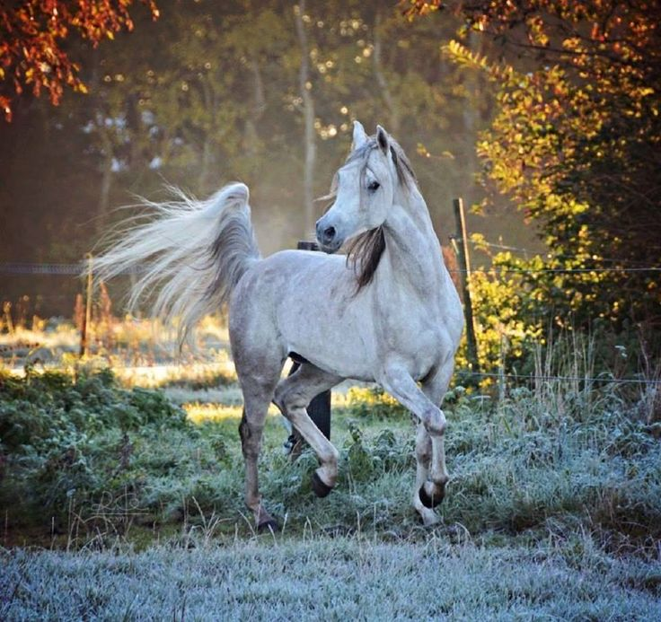 Pretty white horse with tail held high prancing in the setting sun.