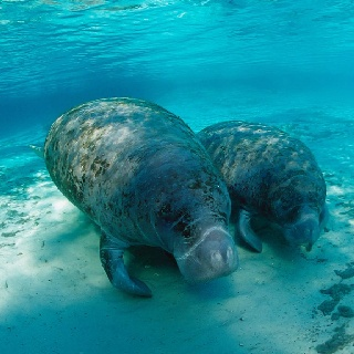 How cute are these Manatees? Picture used on NSVH for November Manatee Awareness.