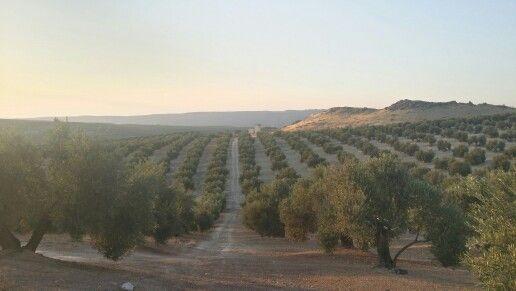 #unmardeolivos #Jaén