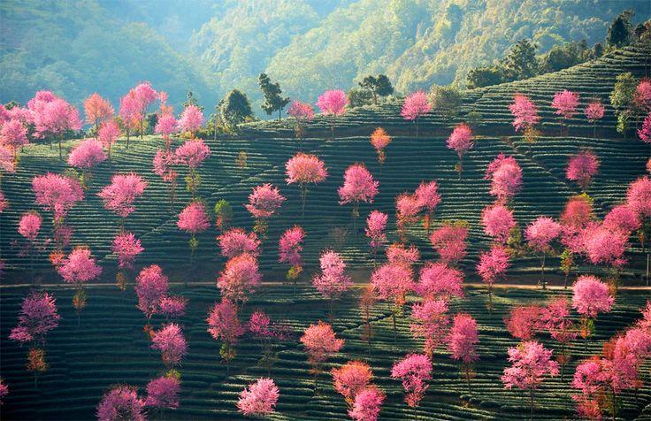 Розовые деревья на холмах Китая.