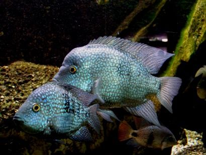Waller Silurus glanis Aquarium Texas Cichlids