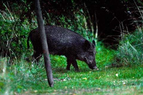 Nöff nöff! I skymningen kan de skygga vildsvinen titta fram i Skrylle. Foto: Ingemar D Kristiansen