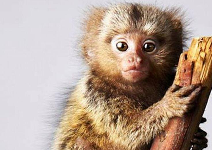 Baby Pygmy Marmoset Monkey (DwergzijdeAapje)