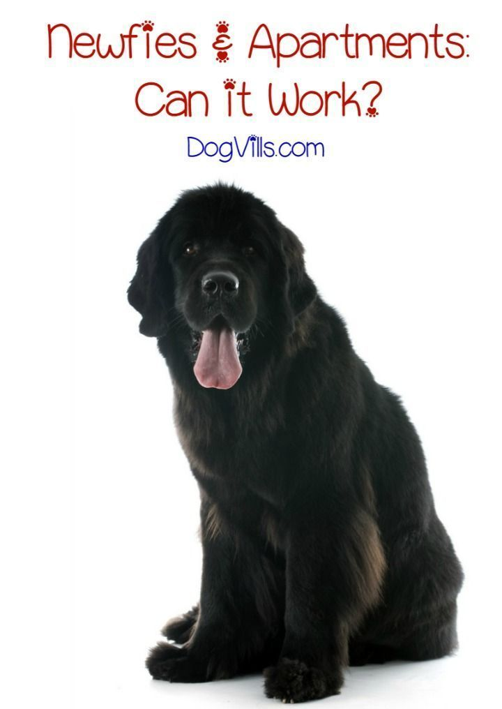 Is The Newfoundland Dog Breed A Good Fit For Apartment Life Pets Pinterest Breeds Large And Largest