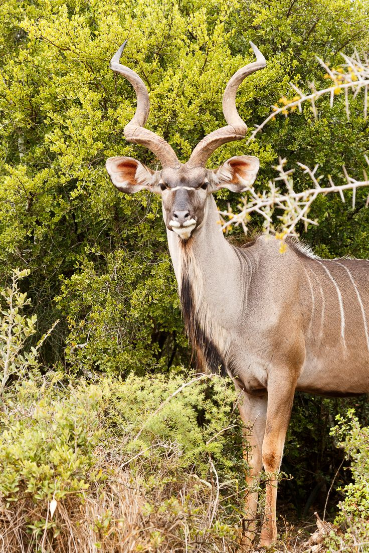 Greater Kudu side view pose  Greater Kudu standing and posing for the camera.