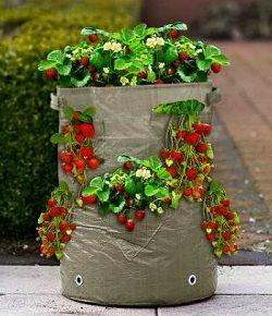 Нетрадиционное земледелие: как выращивать клубнику в мешках —