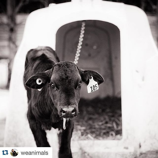 Veal calf, chained to a veal crate.  Dairy and veal farm, Canada. : Jo-Anne McArthur / @WeAnimals #ChooseVegan #VeganOutreach