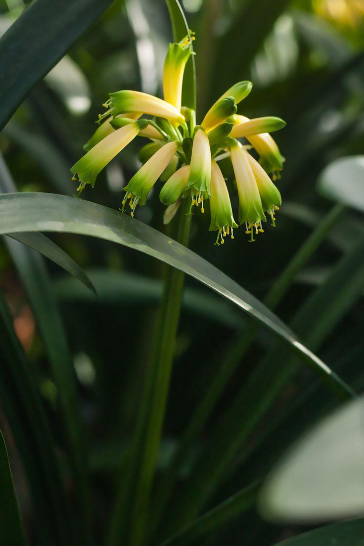 Clivia gardenii, Midlands Fiesta.  Colorado Clivia's plant number 1953.