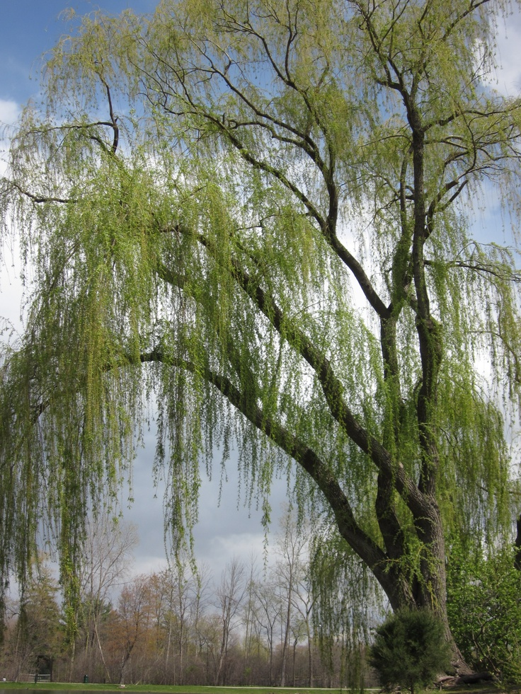 the weeping willow tree in north The most common of these cultivars is niobe weeping willow (salix alba 'tristis') information sources elbert l little, the audubon society field guide to north american trees — western region.