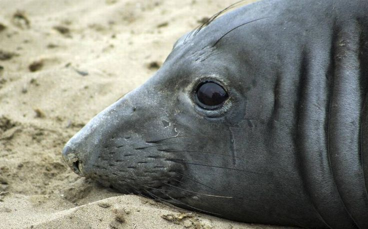 Far-ranging elephant seal sets swim record   An elephant seal named Phyllis at Ano Nuevo Natural Preserve within Ano Nuevo State Park near Pescadero, Calif., in May. UC Santa Cruz researchers say Phyllis has set a record by swimming farther west than any other tracked elephant seal. An elephant seal named Phyllis at Ano Nuevo Natural Preserve within Ano Nuevo State Park near Pescadero, Calif., in May. UC Santa Cruz researchers say Phyllis has set a record by swimming farther west than any…
