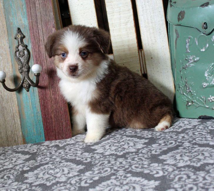 The Domestic Dogaustralian Shepherd Puppy Mini Aussie