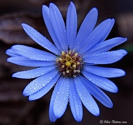 september aster flower - Jack and Jacob's birth flower.