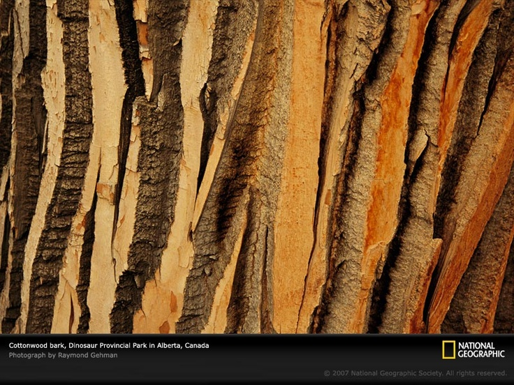 Cottonwood tree bark.Cottonwood Trees, Treebark, Trees Trunks, Trees Bark, National Geographic, Texture, Nature Pattern, Naturepattern, Pattern In Nature
