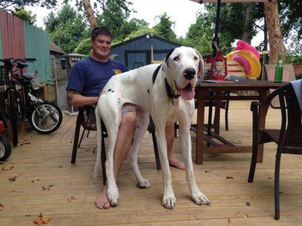 Огромные собаки, которые не представляют свои реальные размеры (15 фото)