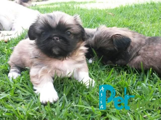 Lhasa Apso Puppy Price In Patna Lhasa Apso Puppy For Sale In