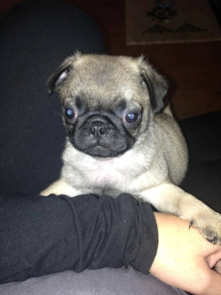 lola the pug 14 best and they called it puppy love images on pinterest 8258