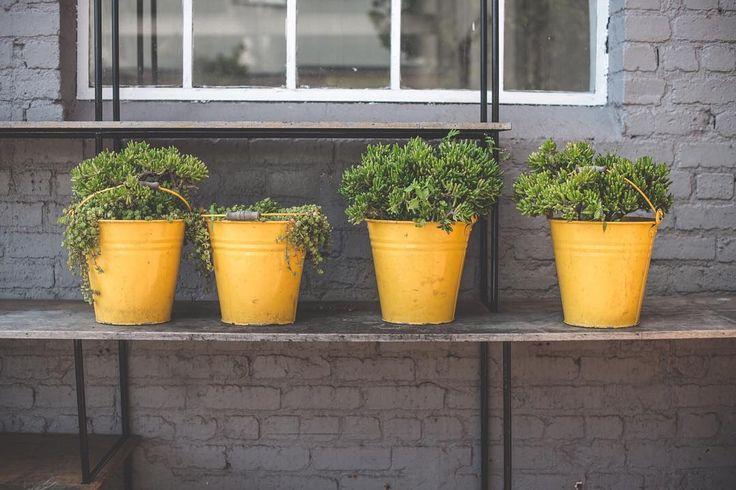 Happy! succulents , yellow